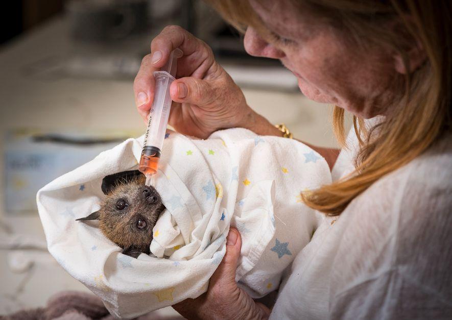 Die Tierpflegerin Bev Brown kümmert sich um ein gerettetes Graukopf-Flughundjunges. Die Fledertiere seien sehr intelligent, wie ...