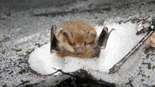 Die winzigen Iglus von Fledermäusen
