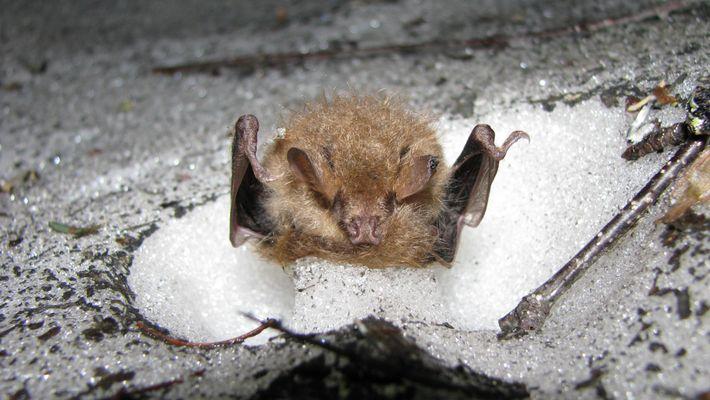 Fledermäuse überwintern in winzigen Iglus