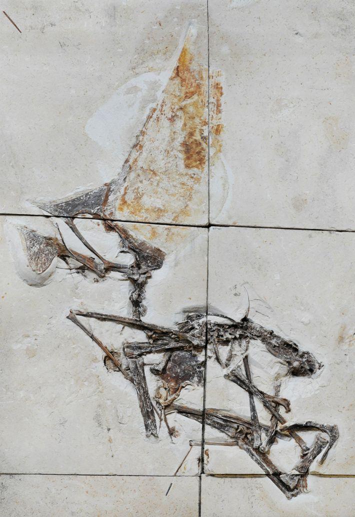 Das neu erforschte Fossil wird einer Flugsaurierspezies zugeordnet, die im Jahr 2003 zum ersten Mal beschrieben ...