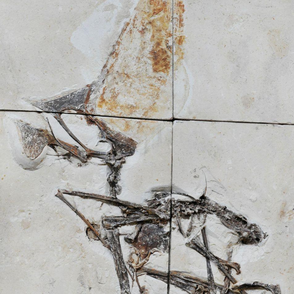 Brasilien: Einzigartiges Fossil eines Flugsauriers erforscht
