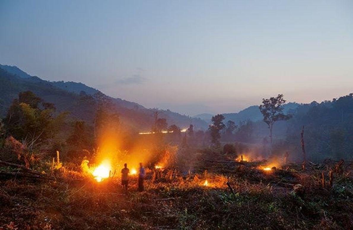 Bauern roden Bäume, um eine Plantage anzulegen. Umweltschützer sehen die Entwicklung mit Sorge: Da kaum natürlicher …