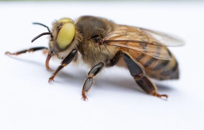 Die gelbäugige Biene ist ein sogenannter Gynander, bei dem Merkmale beider Geschlechter vorhanden sind.