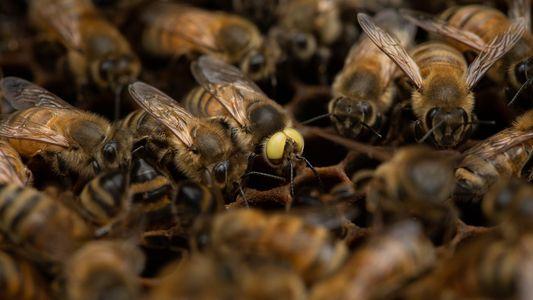 Mutierte Honigbiene ist männlich und weiblich zugleich