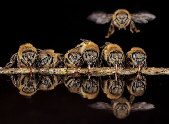 Mit ihren Rüsseln schlürfen Westliche Honigbienen im hessischen Langen Wasser, um es zu ihrem Nest zurückzutragen. ...