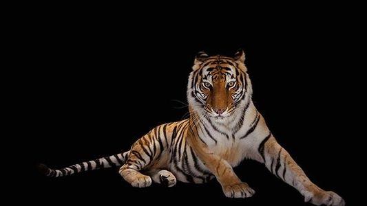 Zahl der Tiger in Nepal hat sich seit 2009 fast verdoppelt