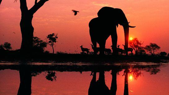 Im Okavangodelta in Botswana überragt ein Elefantenbulle sein Spiegelbild, während hinter ihm eine Herde durstiger Kudus ...