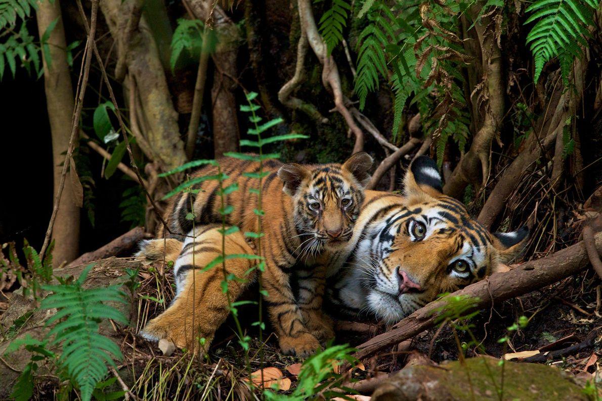 """Im indischen Bandhavgarh-Nationalpark ruht sich eine Tigerin mit ihrem Jungen auf dem Waldboden aus. """"Das war ..."""