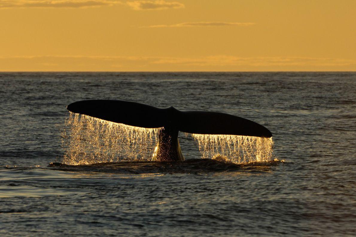 Der Atlantische Nordkaper gehört zu den am stärksten bedrohten Arten der Welt. Die Zukunft dieses Exemplars ...