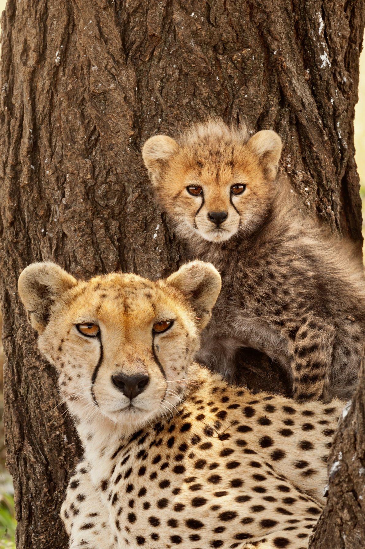 Auf den Grasebenen der Serengeti in Tansania ruhen diese Gepardenmutter und ihr Junges im Schatten.