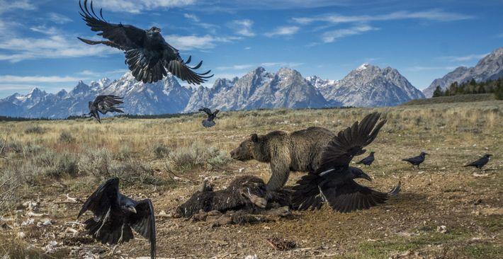GRAND-TETON-NATIONALPARK, Wyoming. Als ein Auftrag den britischen Fotografen Charlie Hamilton James im Jahr 2014 nach Wyoming ...
