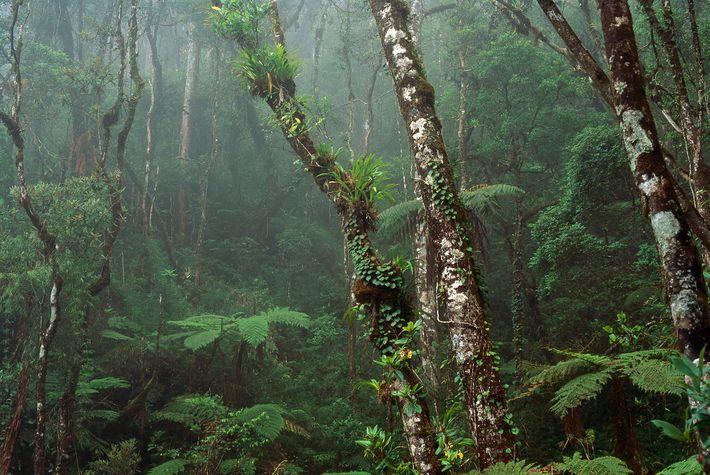 Die Nebelwälder in den Bergen von Malaysia auf Borneo.