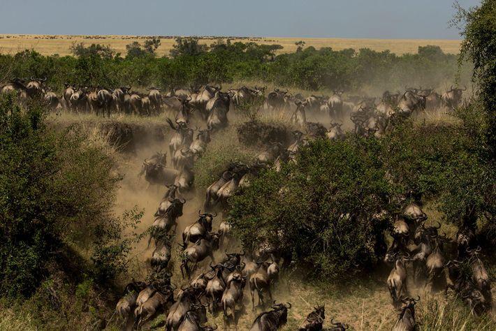 Von Spätsommer bis Frühherbst ist die beste Zeit, um sich die berühmte Gnuwanderung in der Masai ...