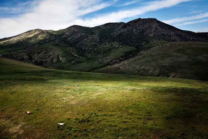 Wildpferde grasen auf einem Plateau in der Mongolei.
