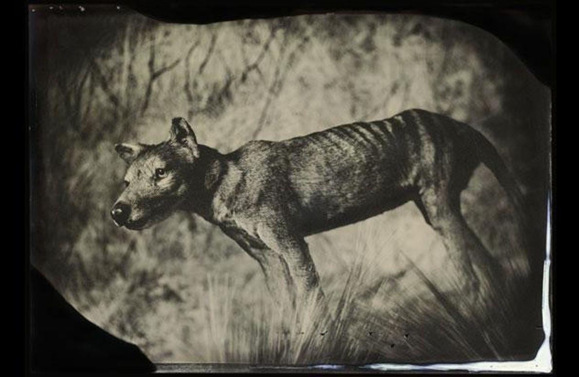 Er sah aus wie ein Wolf und wurde auch Tasmanischer Tiger genannt. Tatsächlich war Thylacinus ein …