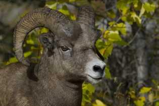 Wachsames Dickhornschaf, Jasper-Nationalpark.