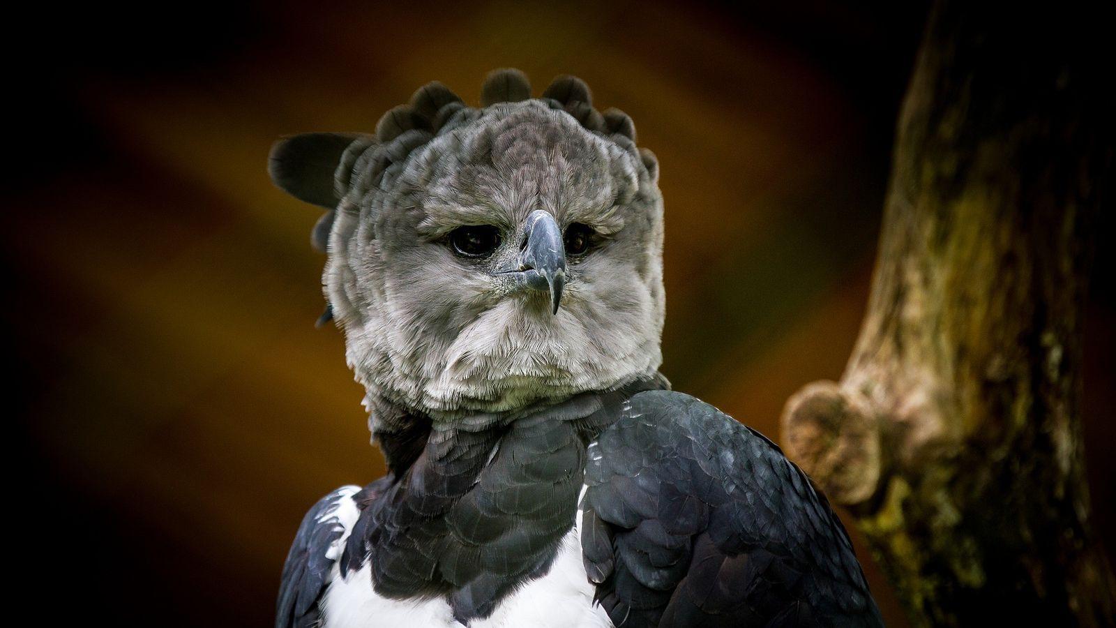 Harpyie Waldadler