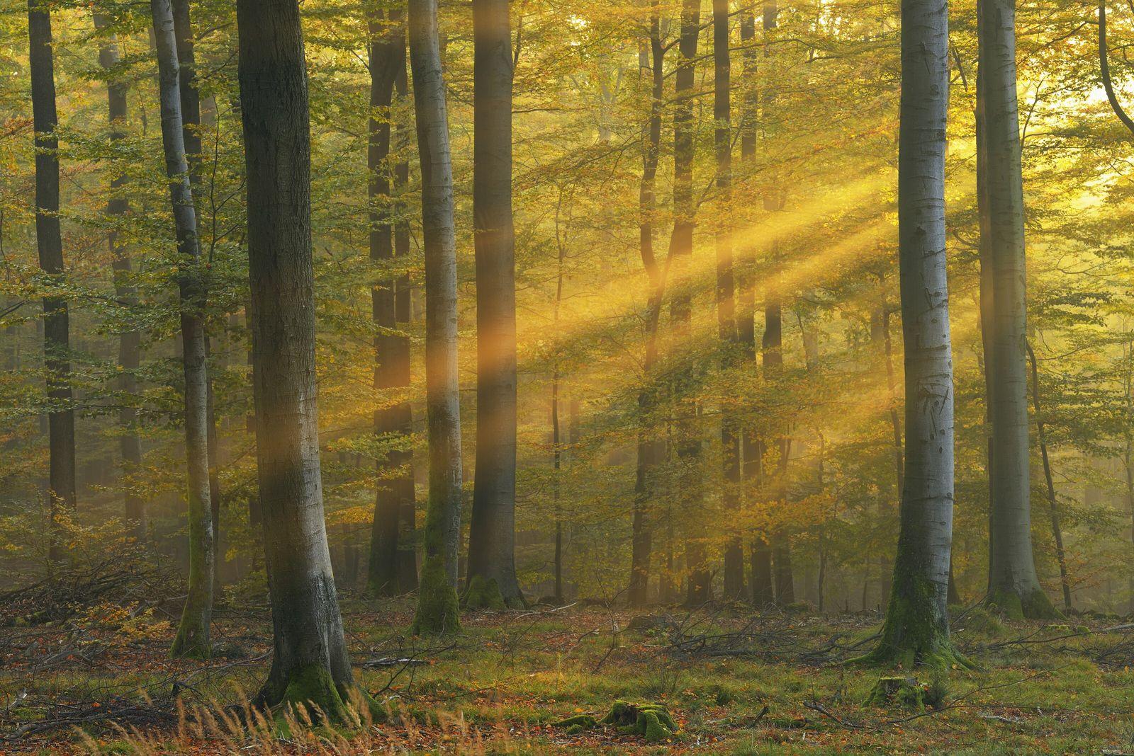 Sonnenstrahlen bahnen sich bei Morgennebel ihren Weg durch die Bäume eines Waldstücks im Spessart. Echte Naturidylle ...