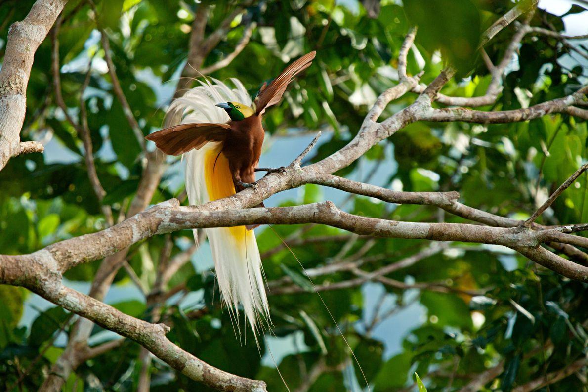 Raggi-Paradiesvogel