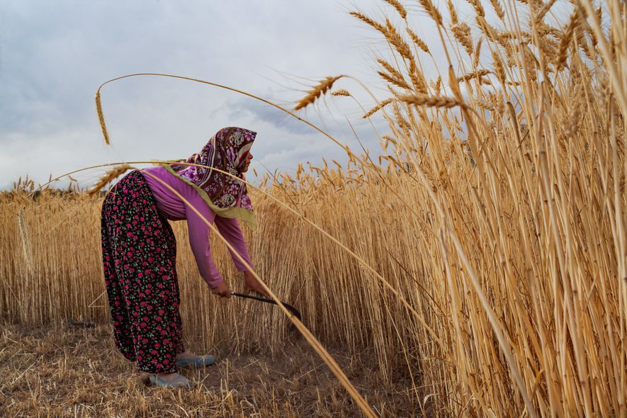 Eine Frau bei Konya in der Türkei erntet Getreide von Hand. Anatolische Bauern brachten die Landwirtschaft ...