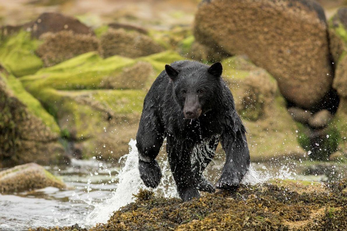 Mit etwas Glück zeigen sich auch Schwarzbären, Weißkopfseeadler und Wapitis an den Ufern von Vancouver Island ...