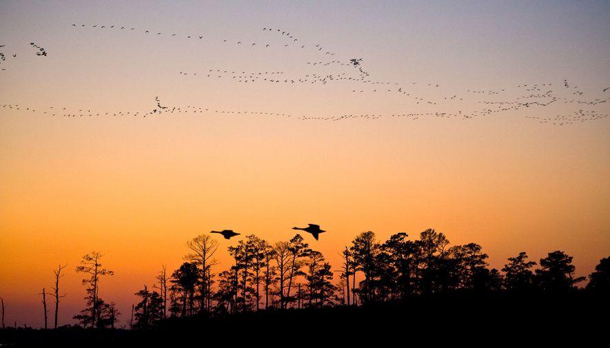Im Blackwater National Wildlife Refuge schwingen sich Gänse in die Lüfte. Das Schutzgebiet dient mit seinen ...