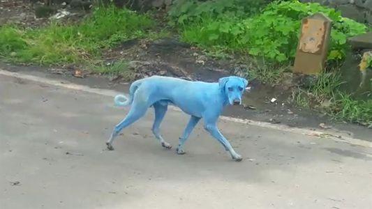 Indiens blaue Hunde – was ist die Ursache?