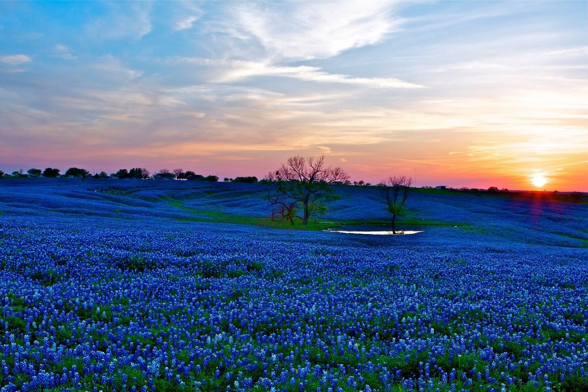 """Etwa 56 Kilometer südlich von Dallas liegt die kleine Stadt Ennis, die offizielle """"Bluebonnet City of ..."""