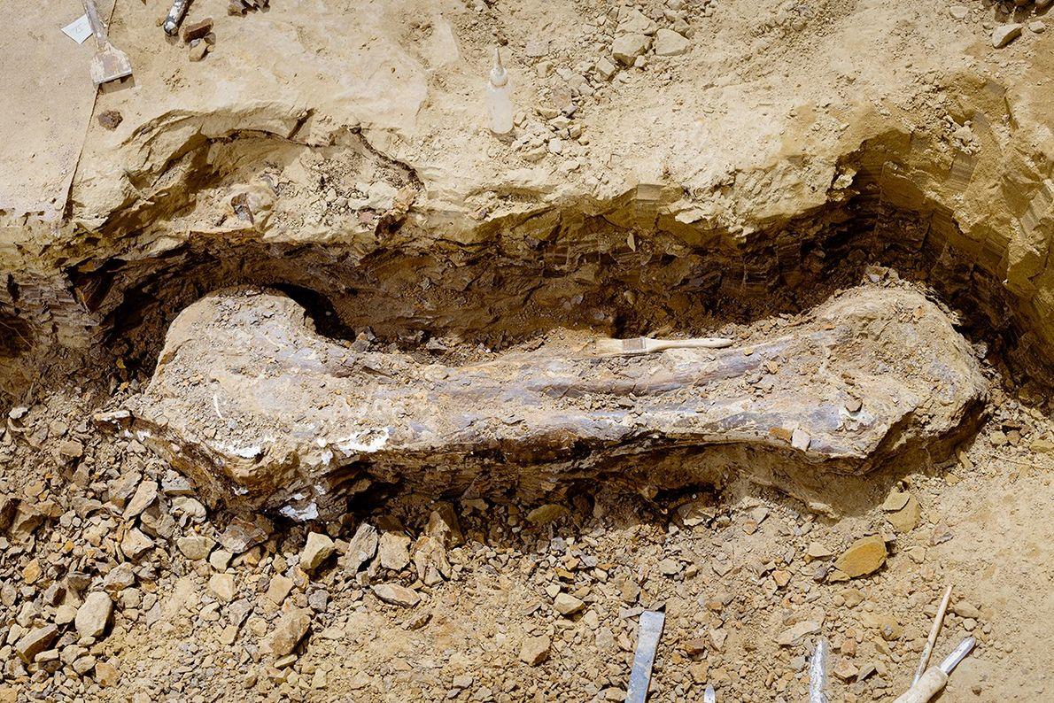 Dieser Oberschenkelknochen stammt von Edmontosaurus annectens, einer von zwei gültigen Arten des Entenschnabeldinosauriers Edmontosaurus. Diese Art ...