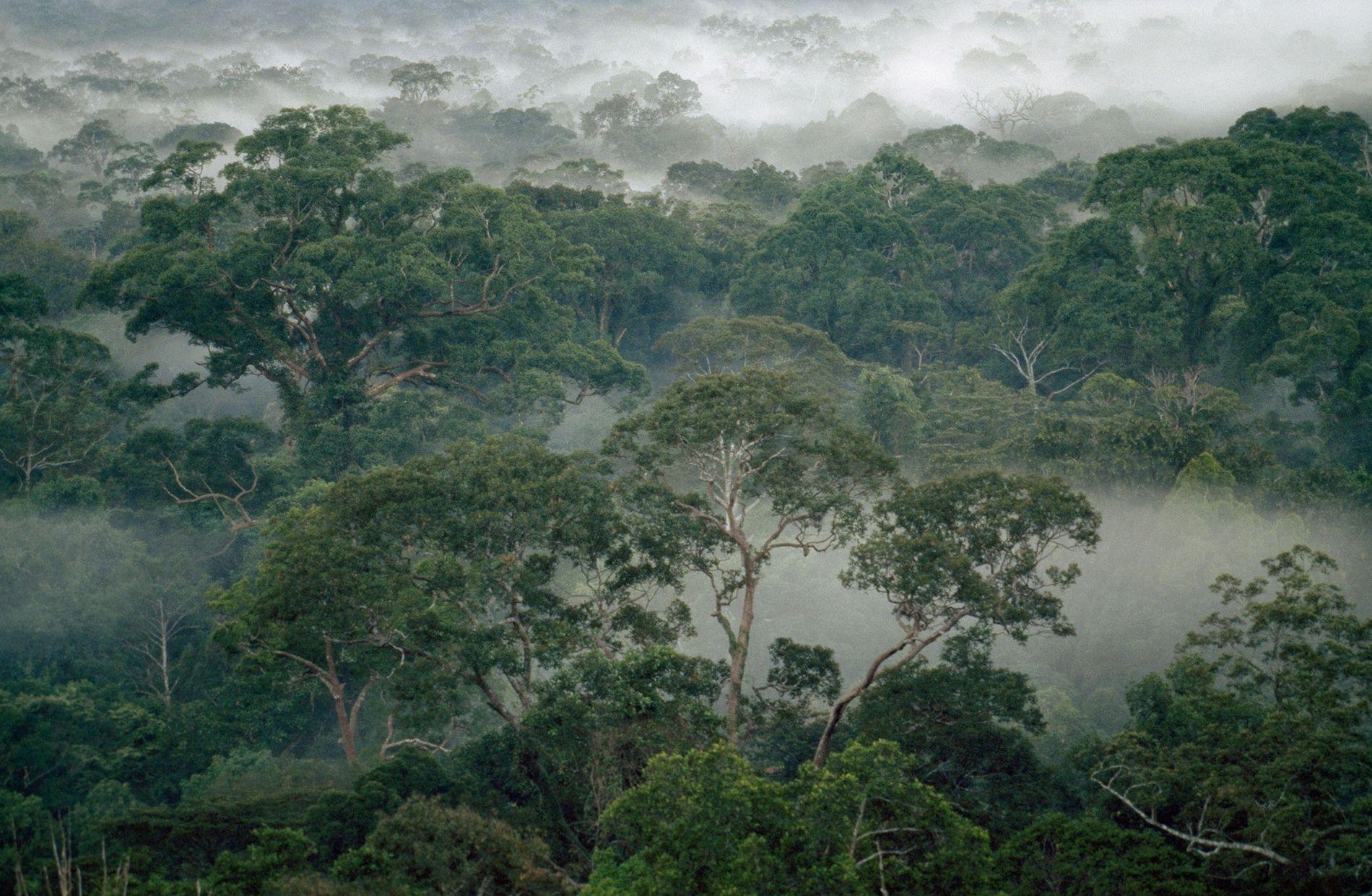 Nebelschwaden durchziehen den Regenwald im Nationalpark Gunung Palung auf Borneo, Indonesien.