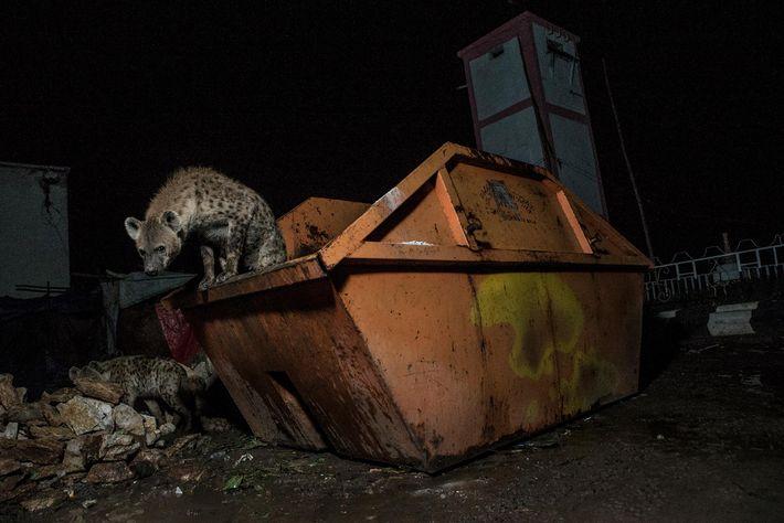 Hyänen auf Müllcontainer