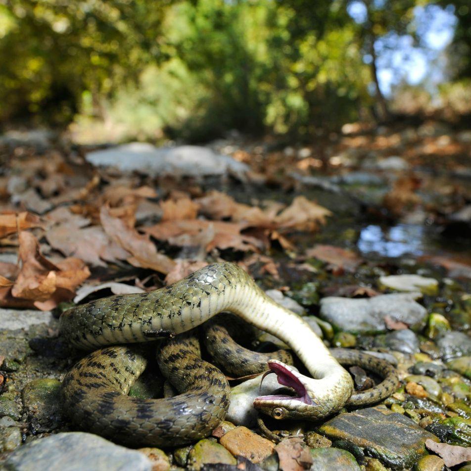 Totstellen im Tierreich: Mehr als reine Fressprävention