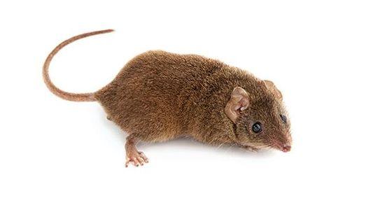 Breitfußbeutelmäuse  - Leb wild, stirb jung