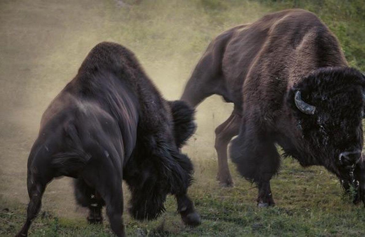 Brünstige Bisons im Lamar Valley