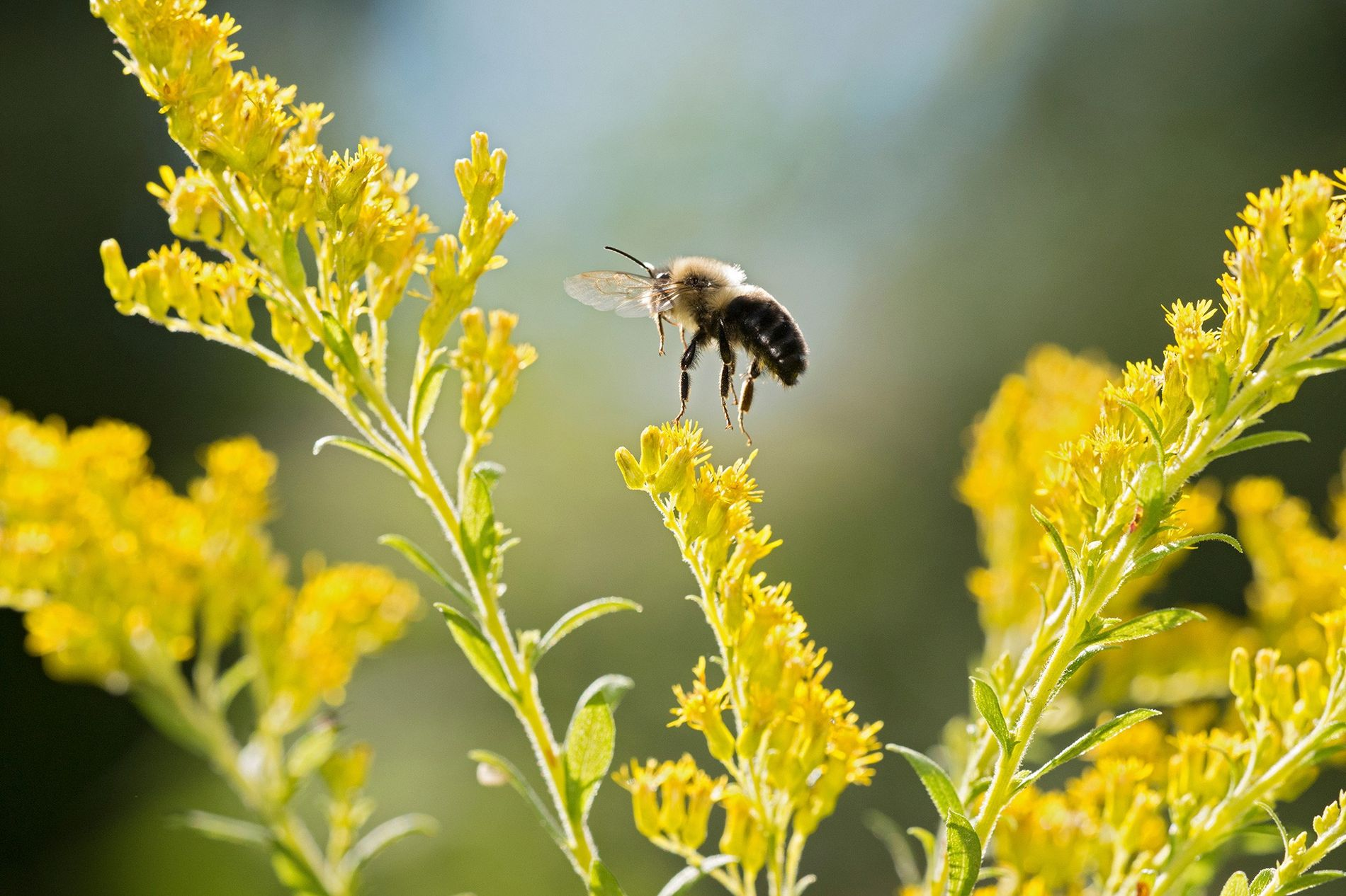 Hummeln wie dieses Exemplar der Art Bombus impatiens sind als Bestäuber oft unersetzlich für ihre Ökosysteme. ...