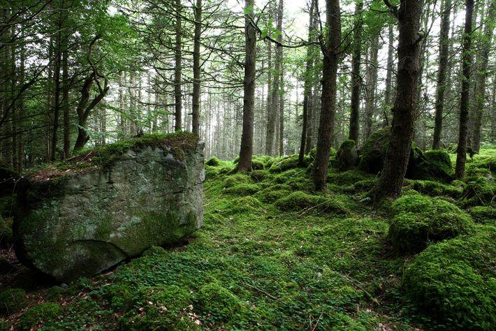 Burren Forest