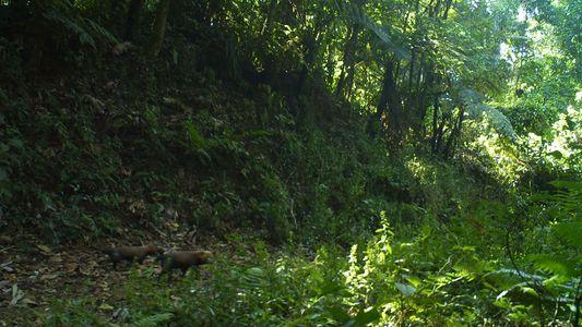 Scheuer Waldhund erobert neue Lebensräume