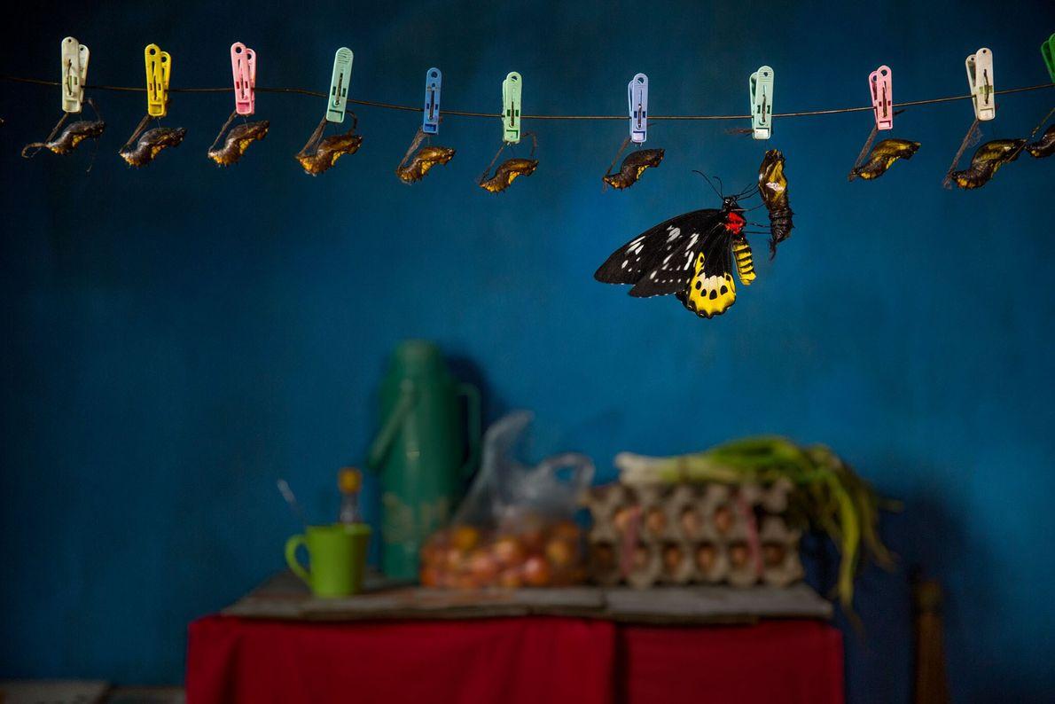 Ein Schmetterling der Art Ornithoptera goliath schlüpft in der Küche eines Touristenhauses im West-Papua aus seinem ...