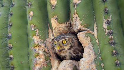 Kann diese winzige Eule Arizonas Bauboom überleben?