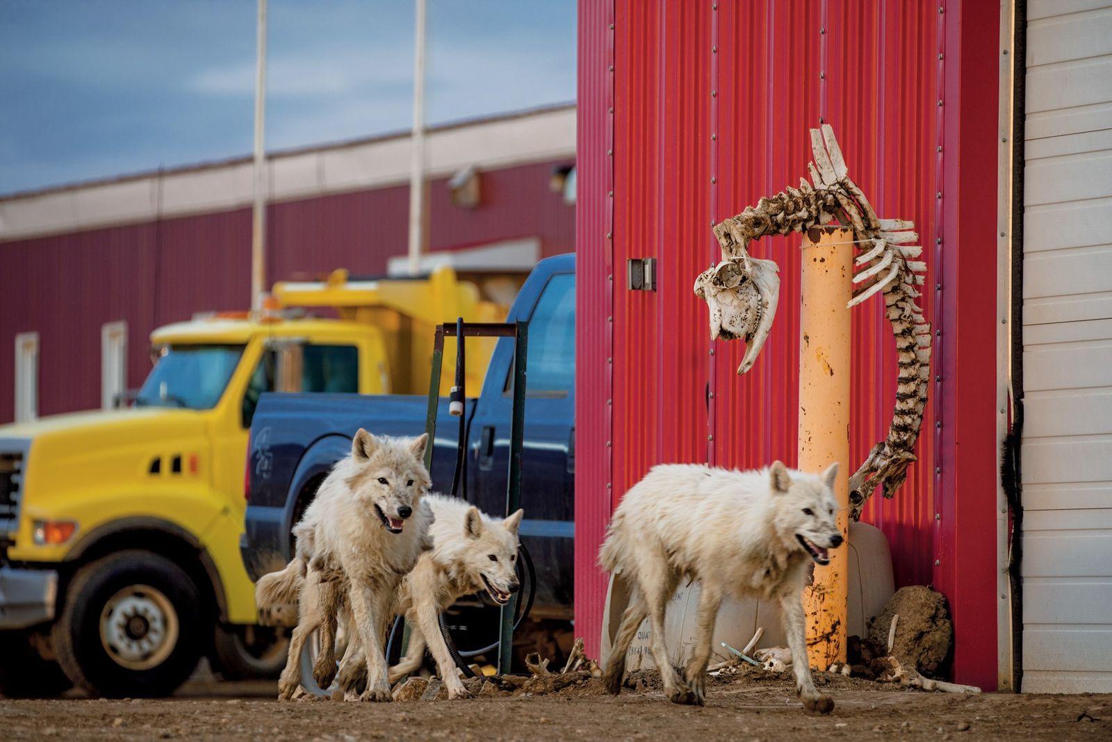 Die Wölfe statten einem kanadischen Militäraußenposten einen Besuch ab. Für das Skelett eines Moschusochsen, das die ...