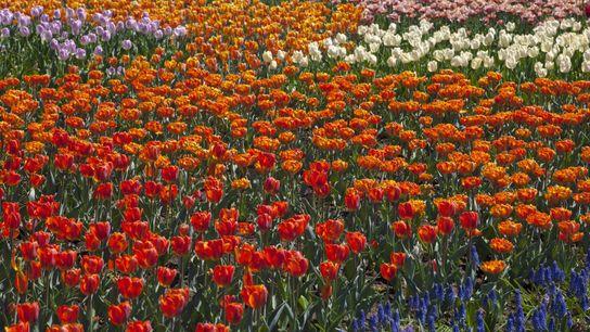 Zum jährlichen Canadian Tulip Festival in Ottawa, Ontario, warten die Parks der Stadt mit einem Farbenmeer ...