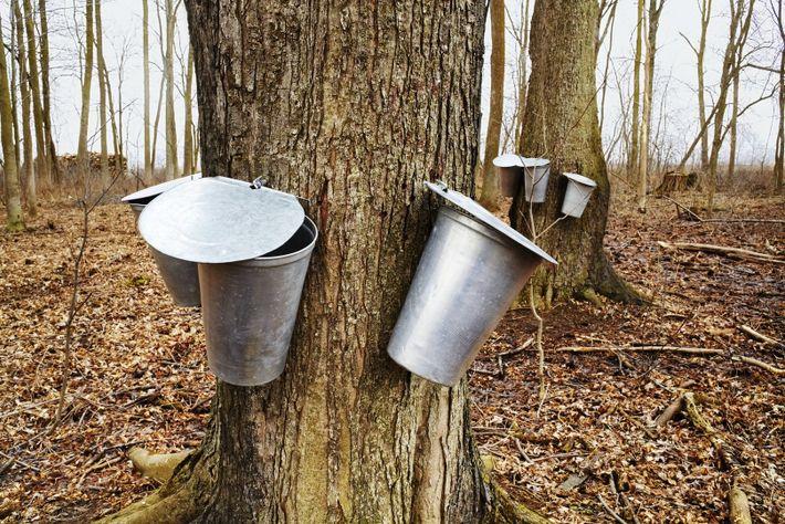 Im Frühling wird in Kanada süßer Sirup von den Ahornbäumen geerntet. Die Einheimischen feiern das mit ...