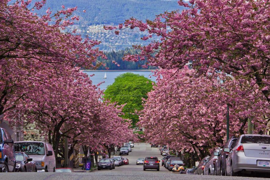 In British Columbia feiert das Vancouver Cherry Blossom Festival rund 40.000 blühende Krischbäume mit zahlreichen Events ...