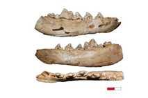 Vom Wolf zum Hund: Kiefer-Fossilien von Hundeartigen aus der Gnirshöhle