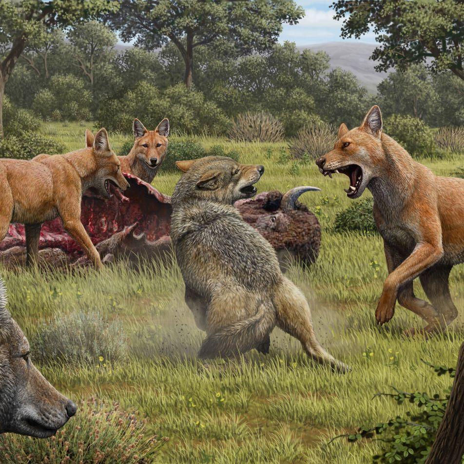 """""""Schattenwolf"""" im neuen Pelz: Der Eiszeitjäger überrascht Forscher"""