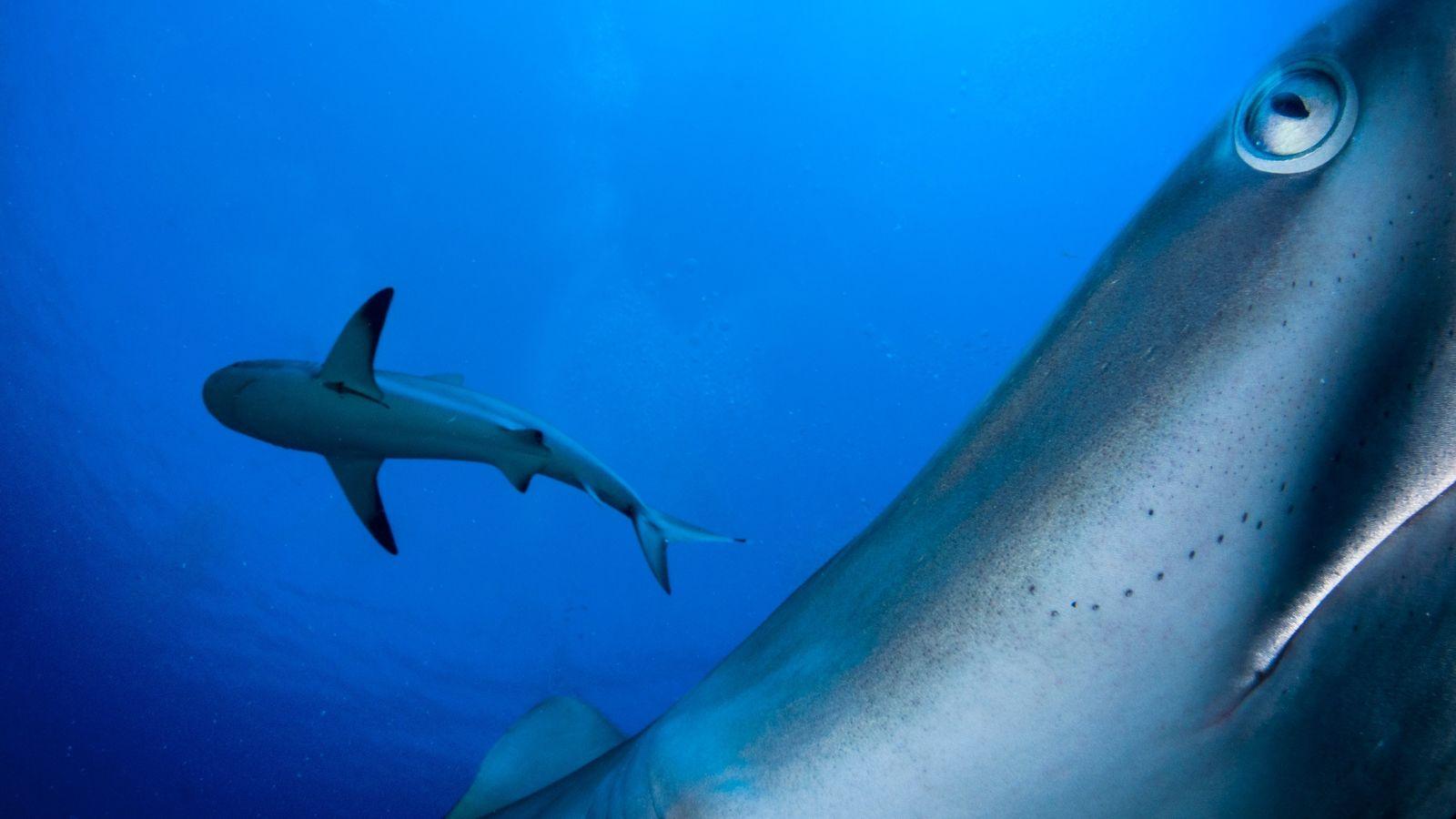 Karibische Riffhaie