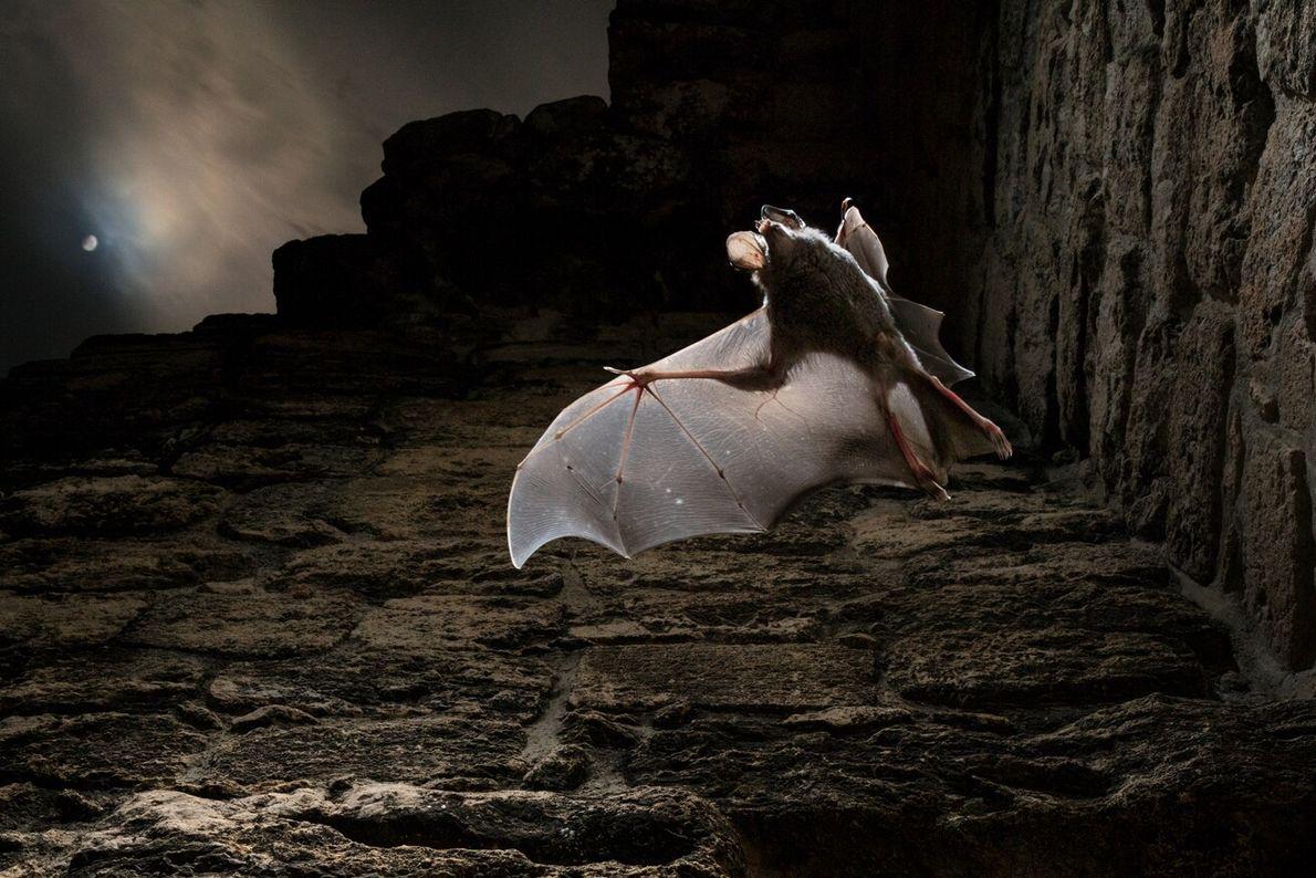 Eine Großohr-Wollfledermaus flattert in eine mondbeschienene Nacht.