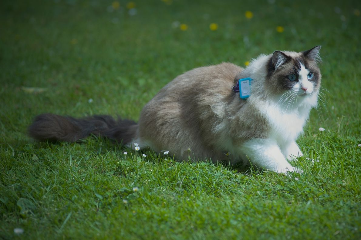 Cat Tracking: GPS-Daten zeigen, wo Katzen sich rumtreiben