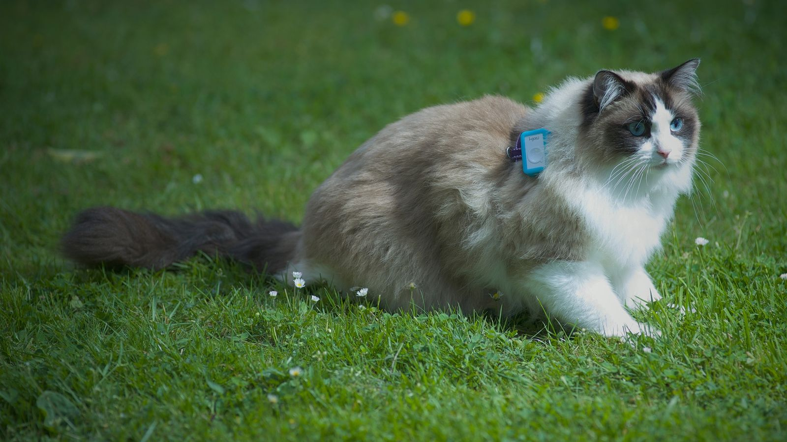 Katze mit GPS-Tracker