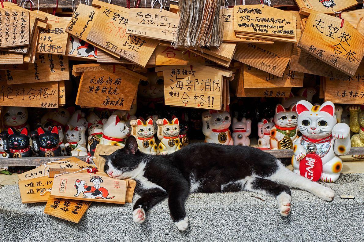 """In einem Katzentempel in Japan schläft eine echte Katze inmitten von Maneki-Nekos oder """"Winkekatzen""""."""